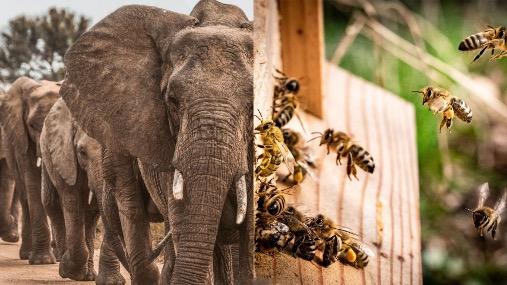 Elephant Bees